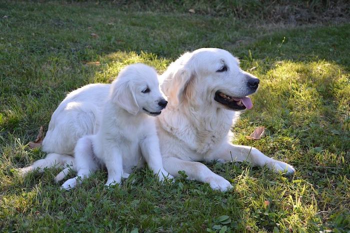 Mignonne image de deux golden retrievers dans un jardin, image fête des mères, cadeau fete des meres, les plus belles photos