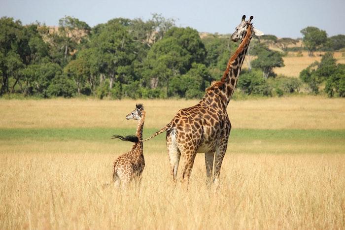 Le girafe et son petit nature image original à envoyer pour la fête, cadeau fete des meres, image fête des mères, carte de voeux à envoyer