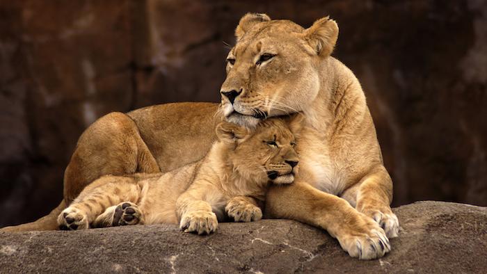 Vie sauvage lion et son petit photo, envoyer une image bonne fete maman, carte cadeau fete des meres