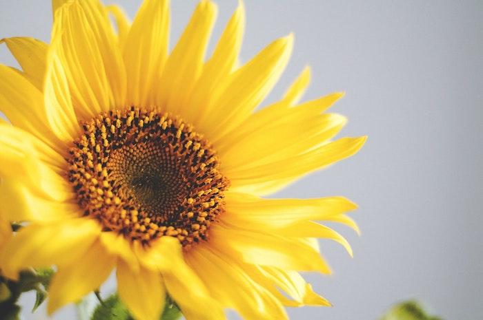 Tournesol jaune envoyer message à maman, bonne fete maman, saluer sa mère pour la fête, photo de fleur