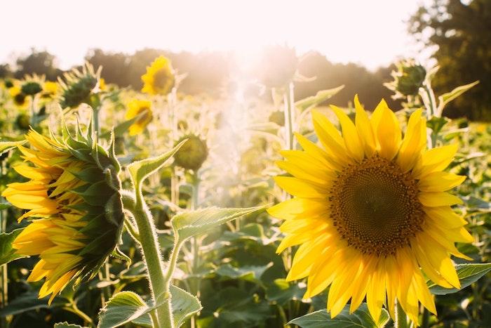 Champ de tournesols au coucher de soleil, belle photo nature, images fête des mères, bonne fete maman, belle image à envoyer à sa mère