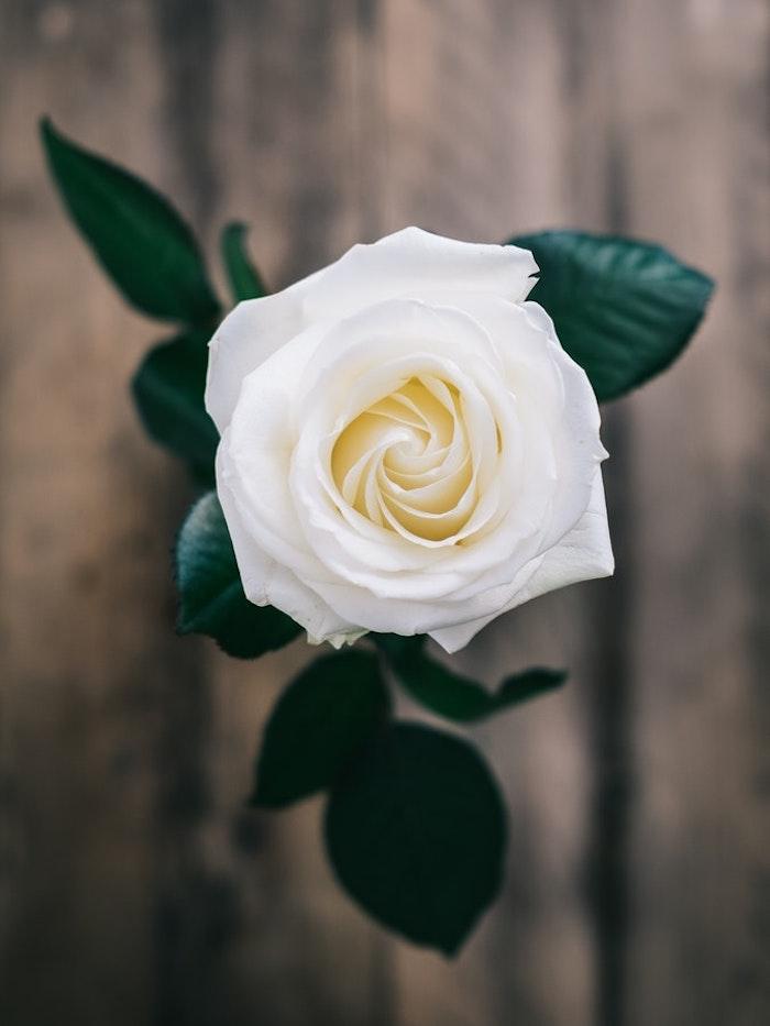 Blanche rose photo de haut, images fete des meres gratuite, carte fête des mères, vase avec fleur photo à envoyer