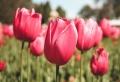 Comment bien choisir ses tulipes ? Les conseils des pros !