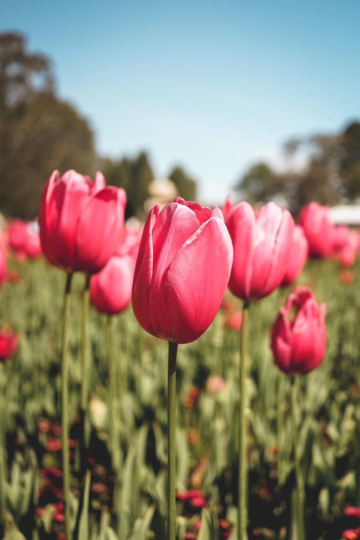 La tulipe, une fleur symbolique, beau jardin avec tulipes, plantation de tulipes comment l'entretenir