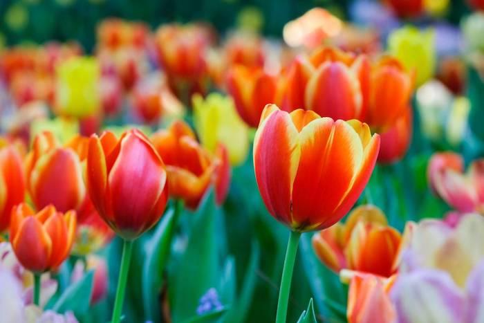 Comment entretenir ses tulipes, belle photo de tulipe rouge et jaune, jardin de tulipes, découvrir la beauté de la nature