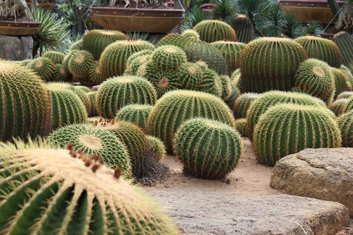 cactus boule, espèce de plante succulente épineuse, plantes grasses dans le jardin extérieur