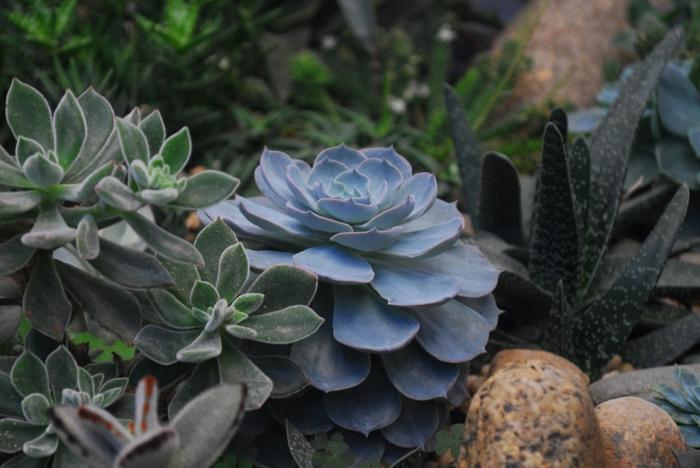 plantes de rocaille, pierres , agaves, écheverias, plantes succulentes d'extérieur