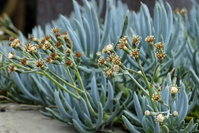 bâton de craie, plante grasse fleurie, jolies plantes grasses, plantes succulentes