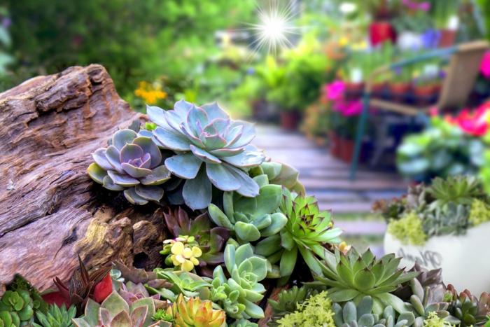 jolie allée de jardin, bois flotté, succulentes, echeverias, allée en bois, chaise, jardin de plantes succulentes
