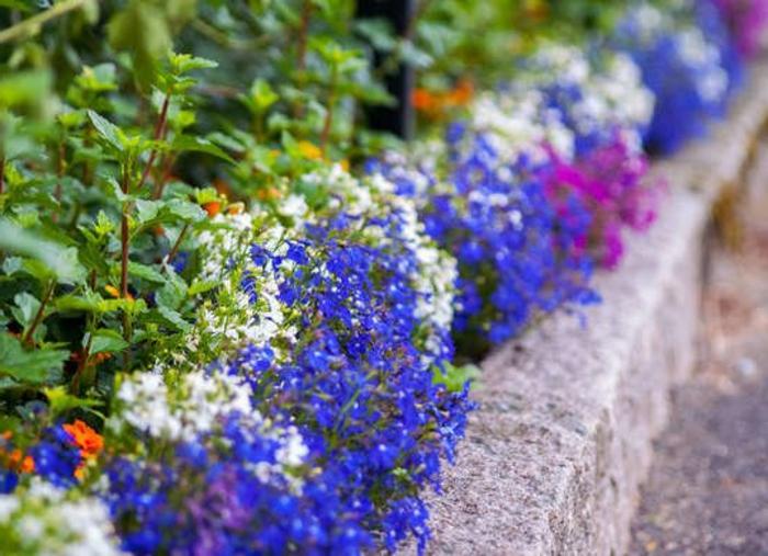 joli parterre de fleurs, bordure pour jardin en pavés, fleurs à floraison bleue, blanche et lilas