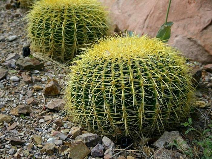 cactus boule, plante pour rocaille, grande roche située dans le jardin, cactus exterieur