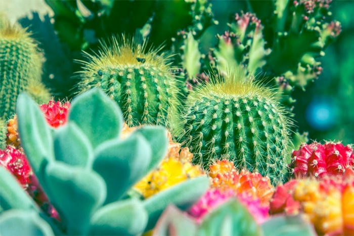 plante cactus fleuri, plante grasse fleur rose, cactées fleuries en massif, jardin désertique