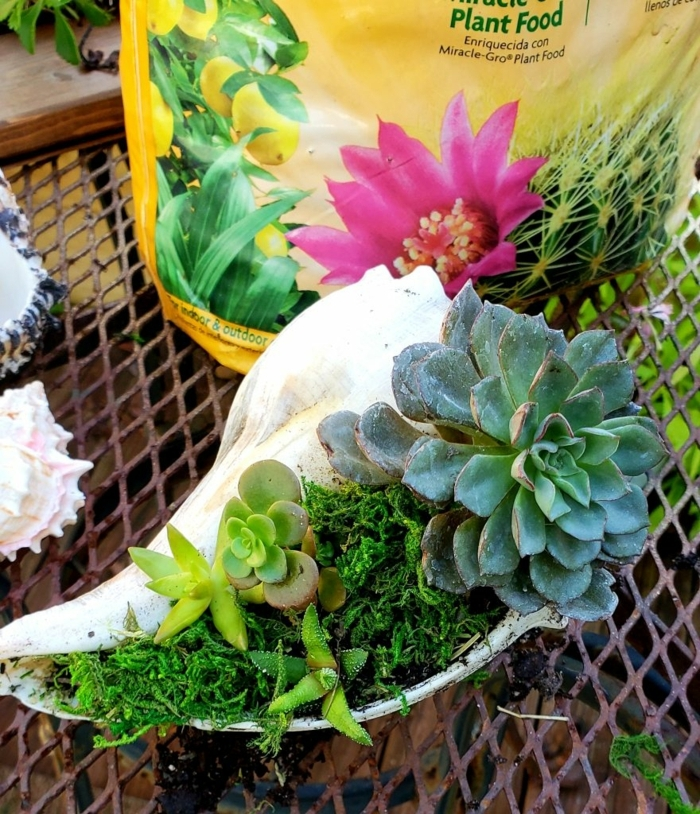 coquillage blanc, plante succulente dans un coquillage blanc, mini jardin de plantes grasses