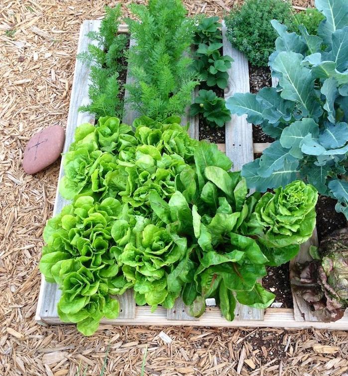 laitue, salades et herbes fraiches plantées à l horizontal dans une palette de bois, culiver ses propres légumes