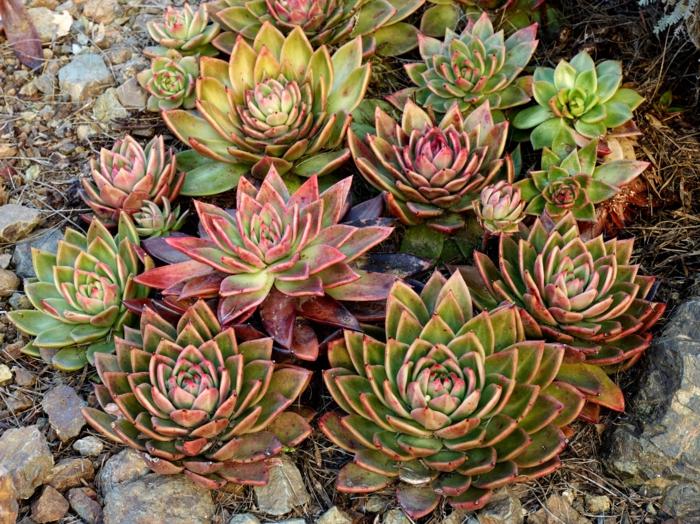 poule et poussins, succulente plante, cailloux, design de jardin mini à l extérieur