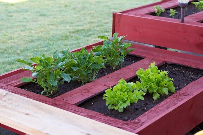 comment cultiver ses propres légumes, salades, laitue plantées dans un lit de vieille palette, carré potager surélevé