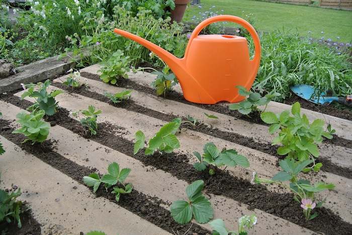 fraises plantées dans une palette de bois, à l extérieur avec terreau dans les interstices d une palette, potager horizontal sur sol