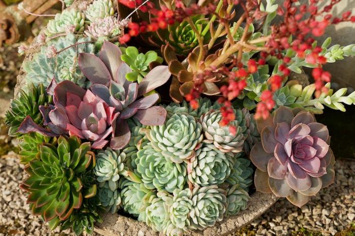 plantes grasses exterieur, petite plante grasse, cailloux, poule et poussins, plante succulente, espèces représentatives