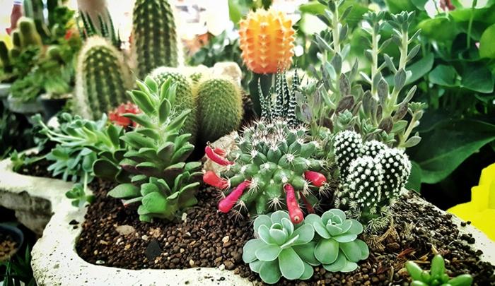 cactus fleuri, parterre de jardin avec succulentes, mini jardins de plantes grasses