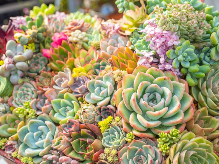 jardin vertical echeverias, plantes aux feuilles charnues, succulente plante en jardin mini