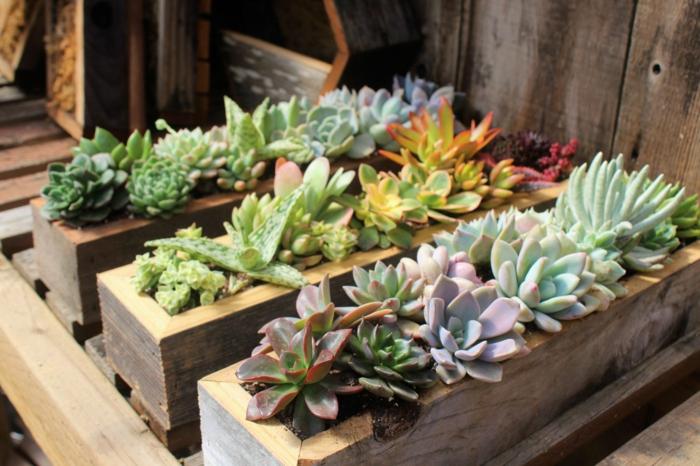 mini jardins avec plantes succulentes, dudleyas plantées dans des jardinières en bois