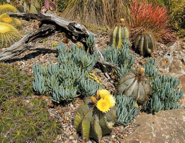 cactées intéressantes, succulentes, cactus boule, jardin de cactus design sauvage, bois flotté