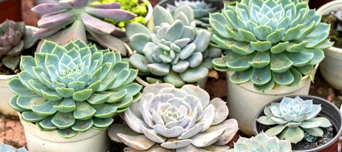 élever des plantes succulentes, plante exterieur en pot, petits pots avec plantes grasses petite taille