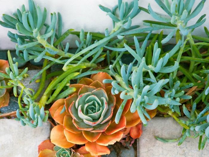 bordure de plantes grasses exterieur, baton de craie, rosette orange, petit jardin sous le mur