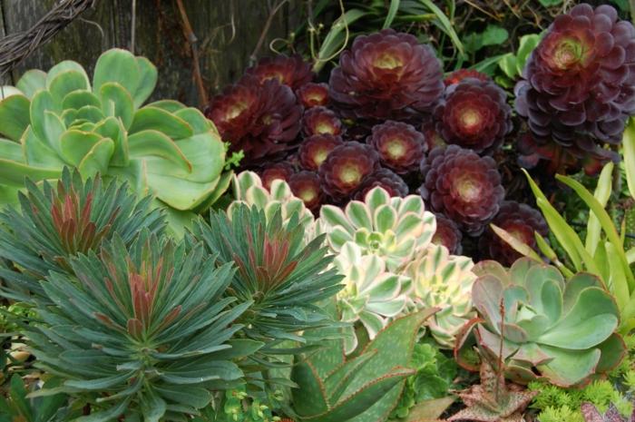 plantes grasses en rosettes, différentes expèces de succulentes en vert, vert clair et pourpre