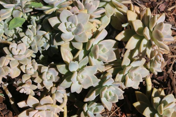 plantes succulentes, plantes d'extérieur, paillage de jardin, jardin de plante grasse