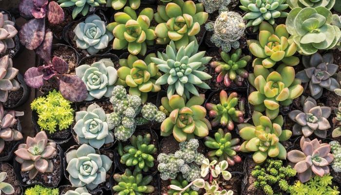 petites plantes grasses en petits récipients, cactée, echeveria, plante grasse en pot