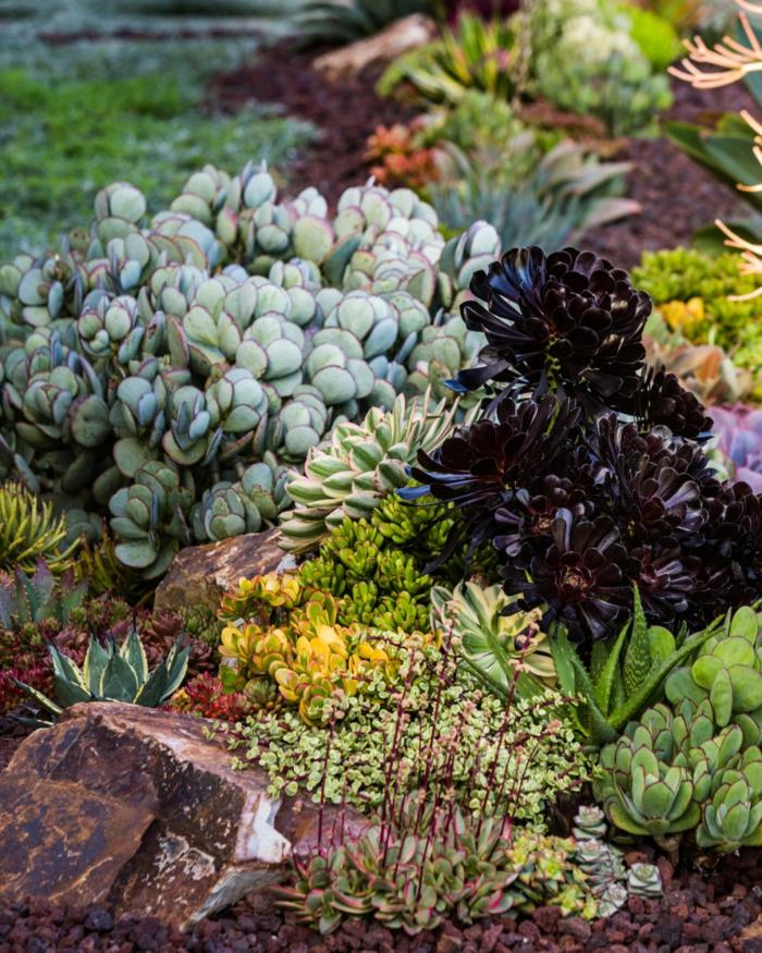 succulente plante dans un jardin d'espèces variées, pierres et plantes grasses petites