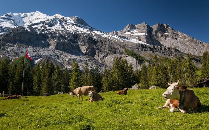 photo de vaches dans leurs pâturages montagneux typiques du paysage de vacances en Suisse