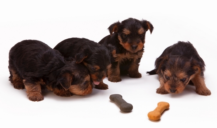 quelle nourriture pour un animal de compagnie, les meilleurs croquettes pour petits chiens, alimentation petit chien