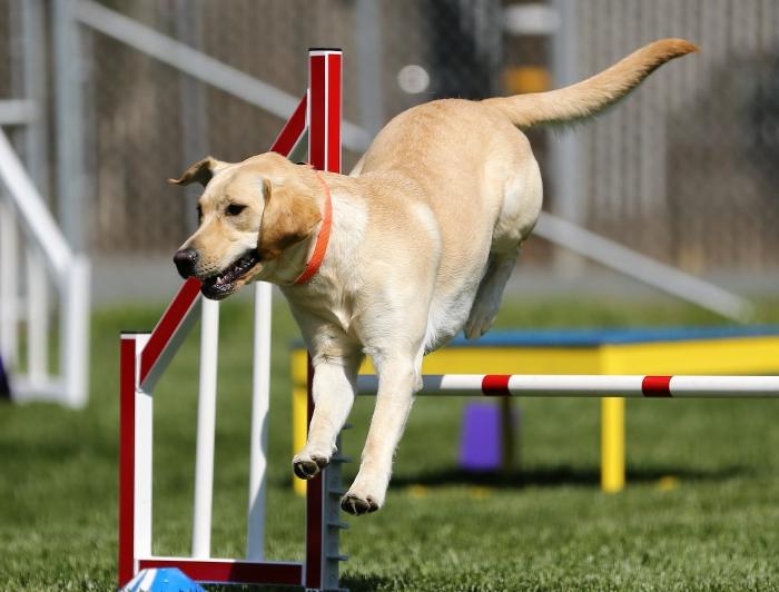 nourriture adaptée riche en protéines et vitamines pour un chien sportif, croquettes favorisant la régénération musculaire du chien sportif