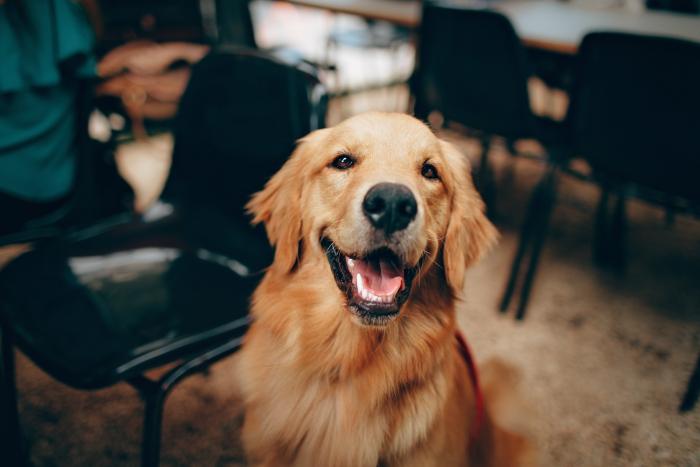 quelle nourriture choisir pour un golden retriever, alimentation saine pour les chiens de compagnie