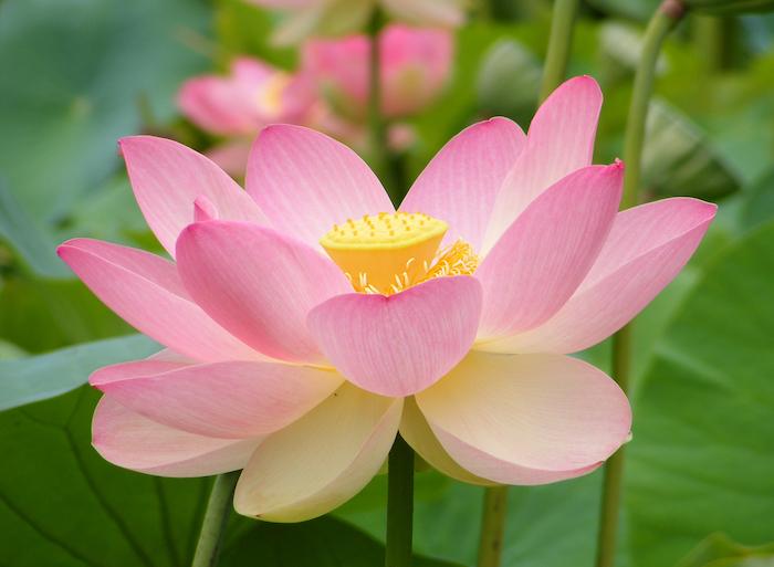 Photo nature, image fond d'écran fleur, idée de tatouage fleur de lotus, les plus beaux tatouages du monde