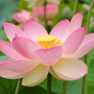 Le tatouage fleur de lotus - symbolisme et images qui le représentent