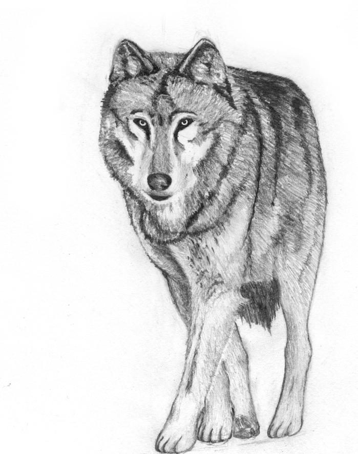 dessin réaliste noir et blanc de loup en train de marcher, dessin graphique corps de loup