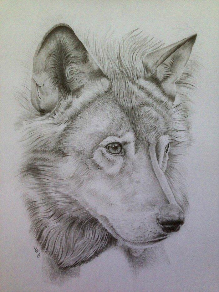 tete de loup dessin réaliste noir et blanc facile à reproduire, realiser un dessin au crayon d un loup symbole de la loyauté