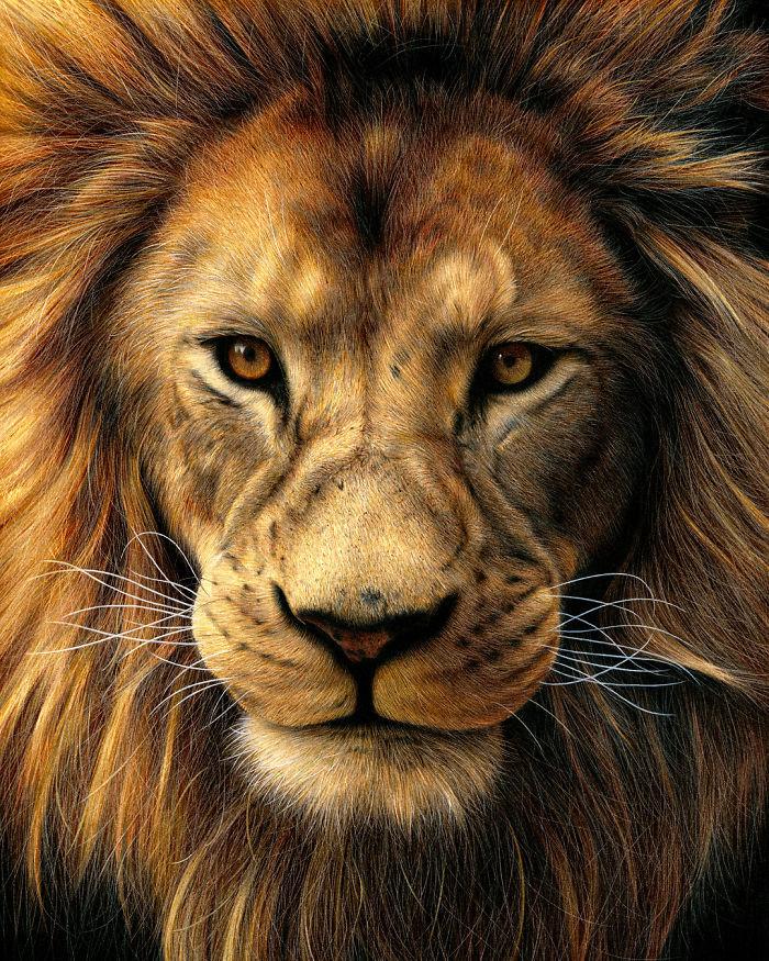 Lion magnifique dessin, incroyable photo-réalisme dessin lion, comment bien dessiner, dessin au crayon coloré micro-contrastes
