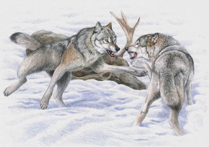 scène combant animalier, idée représentation paysage animalier loups en combat, fond paysage enneigé