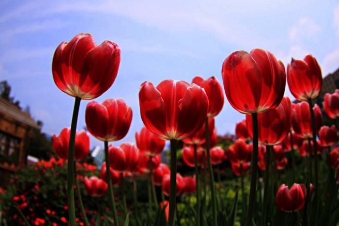 des tulipes rouges épanouies sous le ciel bleu du printemps, jardin en massif de tulipes rouges