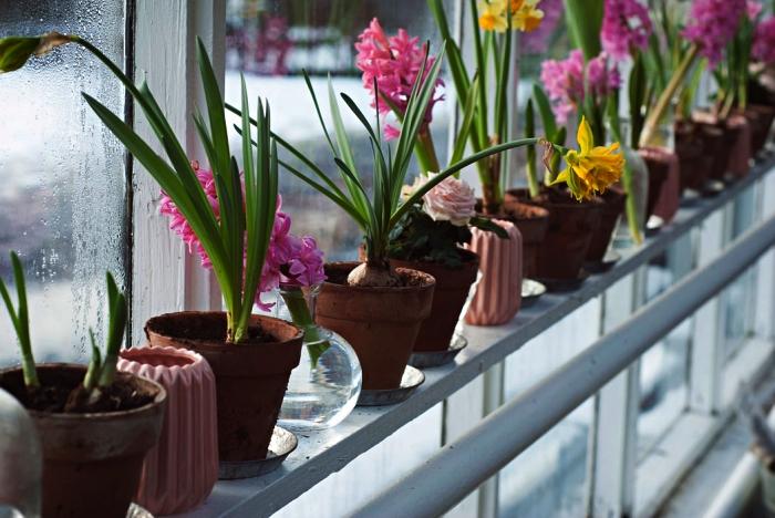 comment et quand planter les tulipes et les jacinthes, culture des bulbes en pots