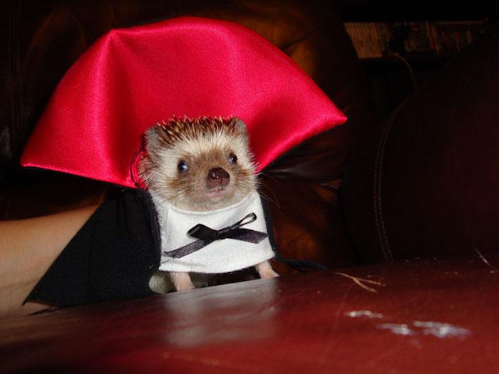 Hérisson adorable en costume de vampire drakula, déguisement halloween fait maison, choix déguisement original