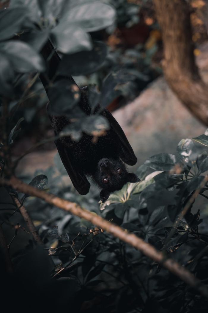idée photo halloween pour écran verrouillage iphone, photo de chauve-souris accroché sur une branche de bois dans forêt