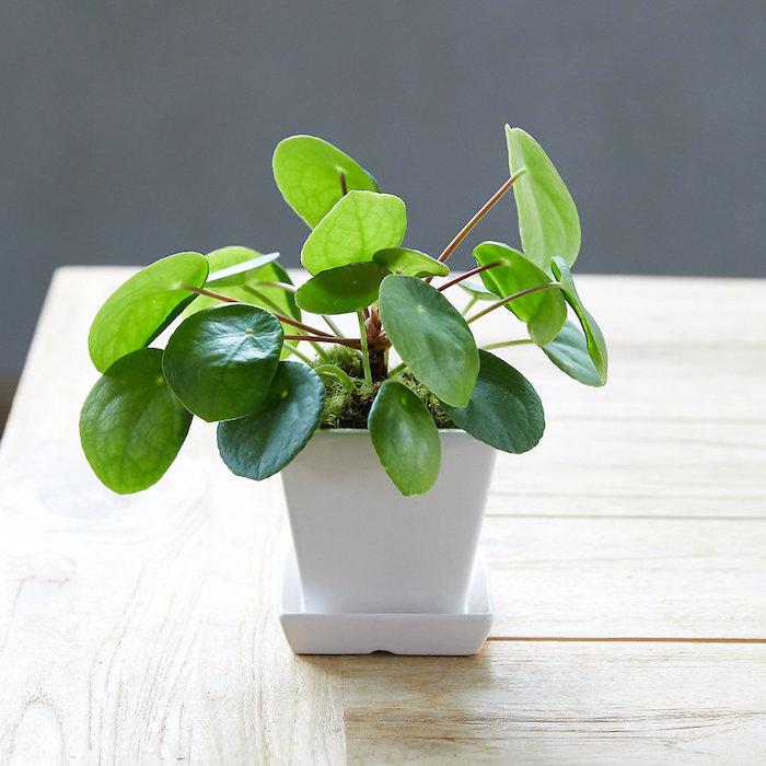 Plante verte cadeau couple original, idée cadeau pour un couple, fend chui idée plante avec feuilles rondes pour prospérité