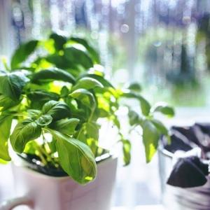 Faire pousser des plantes aromatiques dans sa cuisine - comment s'y prendre ?
