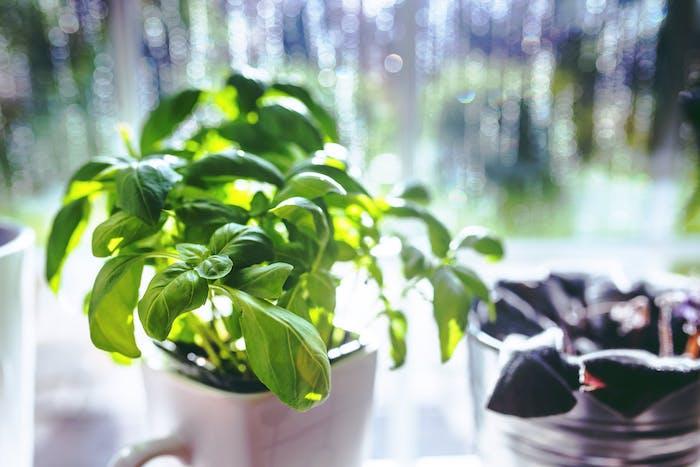 suffisamment de lumière pour réussir sont potager intérieur avec des plantes aromatiques en pot