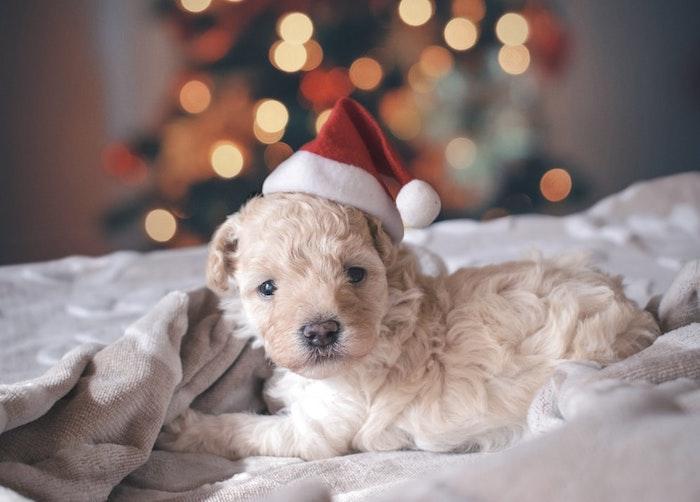 Chien adorable avec une chapeau père noel, image pere noel, image joyeuses fêtes hiver 2019-2020
